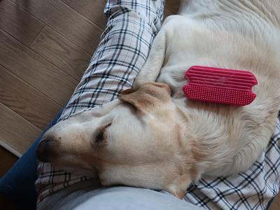 ブラッシングされて眠る犬