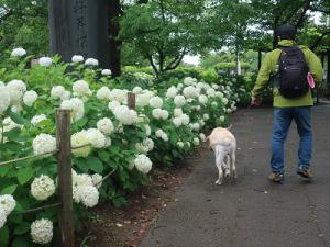あじさいと散歩する犬