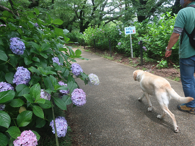 あしさいの道を散歩する犬
