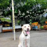 犬は梨を食べても大丈夫?埼玉のブランド梨【彩玉】は大きい!甘い!ジューシー!