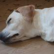 床で眠る犬