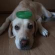 頭におもちゃを乗せられた犬