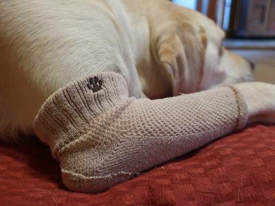 肘タコ防止サポーターを付けて伏せる犬